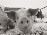Portrait of a Young Pig Fotografisk tryk af Joel Sartore
