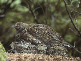 A Blue Grouse (Dendragapus Obscurus) Covers and Protects Her Chicks Papier Photo par Tom Murphy