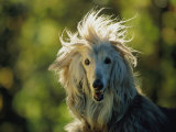 A Portrait of an Afghan Hound Dog Photographic Print by Joel Sartore
