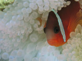 An Anemonefish Nestled Among Sea Anemone Tentacles Photographic Print by Tim Laman