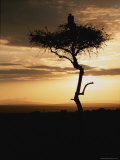 An African White-Backed Vulture Silhouetted Atop a Tree at Sunset Photographie par Roy Toft