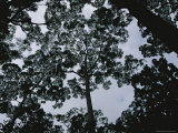 Skyward View Through Trees in the Amazon Rain Forest Photographic Print by Annie Griffiths