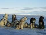 Dogsled Dogs Harnessed and Ready to Head out with Their Musher Fotografisk tryk af Norbert Rosing