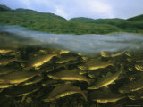 Close View of Pink Salmon Swimming Upstream to Spawn Photographic Print by Joel Sartore