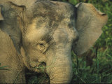 A Close View of the Head of an Asian Elephant Photographic Print by Tim Laman