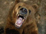 A Trained Kodiak Bear with its Mouth Open Wide in a Roar Photographic Print by Joel Sartore