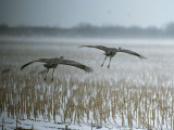 A Pair of Sandhill Cranes Fly over Harvested Cornfield with Snow Photographic Print by Tom Murphy