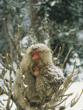 Japanese Macaques (Macaca Fuscata), Mother and Baby, Jigokudani, Japan Photographic Print by Roy Toft