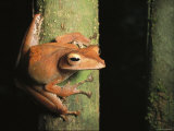 A Tree Frog Clings to a Tree Trunk Photographic Print by Tim Laman