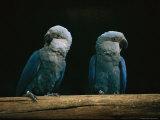 Spixs Macaws (Cyanopsitta Spixii) Stampa fotografica di Sartore, Joel
