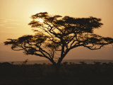Sunset Through a Silhouetted Acacia Tree Photographic Print by Tim Laman