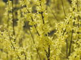 Spring Flowers, Forsythia, Mid-April, Massachusetts Photographic Print by Darlyne A. Murawski
