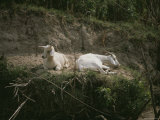 Two White Goats at Rest Photographic Print by Medford Taylor