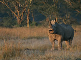 A Southern White Rhinoceroses Stands its Ground Photographic Print by Roy Toft