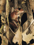 A Frog Sits on a Twig Among Dried Brown Leaves Photographic Print by Tim Laman