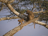 An Olive Baboon, Papio Anubis, and Her Baby in a Tree Top Photographic Print by Tim Laman