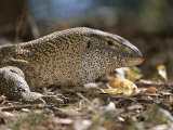 A Close View of the Head of a Monitor Lizard Photographic Print by Roy Toft