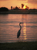 A Great Blue Heron in Silhouette at Sunset Photographic Print by Bill Curtsinger