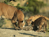 A Mother Mountain Lion and Her Cubs Eat a Freshly-Killed Rabbit Photographic Print by Norbert Rosing