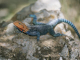 A Brightly-Colored Blue and Orange Agama Lizard Suns Itself on a Rock Photographic Print by Roy Toft