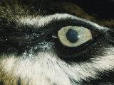 Close View of Eye of Anesthetized Sumatran Tiger Photographic Print by Jason Edwards