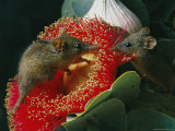 An Australian Honey Possum Feeds on a Mottlecah Eucalyptus Photographic Print by Jonathan Blair