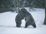 A Pair of Grizzly Bears Play and Tussle in a Snow Storm Photographic Print by Tom Murphy