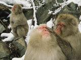 Japanese Macaques (Macaca Fuscata), Grooming, Jigokudani, Japan Photographic Print