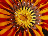 A South African Monkey Beetle Burrows into a Gazania Flower Photographic Print by Jonathan Blair