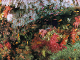 A Colorful Reef Wall Swarming with Anthias and Other Fish Photographic Print by Tim Laman
