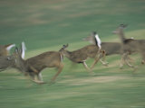 Panned View of White-Tailed Deer (Odocoileus Virginianus) Running Photographic Print by Michael Fay