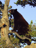 An American Black Bear Stands in a Tree Photographic Print by Norbert Rosing