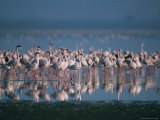Greater Flamingos on Lake Nakuru Photographic Print by Roy Toft