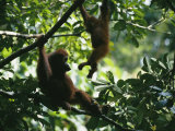 A Female Orangutan and Her Baby in a Tree Photographie