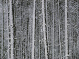 Lodgepole Pine Trees in the Snow Photographic Print