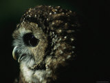 Northern Spotted Owl (Strix Occidentalis Occidentalis), an Endangered Species Photographic Print by Joel Sartore
