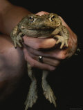 A Person Holds a Big Bullfrog Photographic Print by George Grall