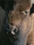 Portrait of a Wood Buffalo Photographic Print by Paul Nicklen