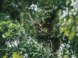 A Young Female Orangutan Builds a Simple Nest Photographic Print by Tim Laman