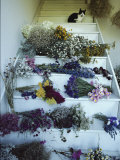 A House Cat Sits on Stairs Filled with Bundles of Drying Flowers Photographic Print by Bill Curtsinger