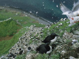 Thick-Billed Murres and Red-Legged Kittiwakes on a Seaside Cliff Photographie par Joel Sartore