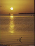 A Heron Wades in the Shallow Water of the Gulf of Mexico at Sunset Fotografie-Druck von Medford Taylor