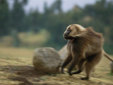 Panned View of a Running Male Gelada Baboon Photographic Print by Michael Nichols