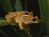 A Mating Pair of Frogs Photographic Print by George Grall