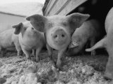 Young Pigs in a Snowy Pen Lámina fotográfica por Sartore, Joel