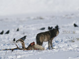 A Wolf Tries to Keep Ravens from its Wapiti Kill Photographic Print by Tom Murphy