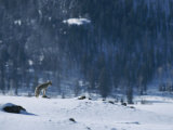 A Coyote Surveys a Snowy Landscape from Atop a Rock Perch Photographic Print by Tom Murphy