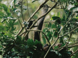 A Female Chimpanzee and Her Baby Rest in the Branches of a Tree Photographic Print by Michael Nichols