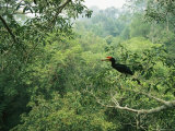 A Rhinoceros Hornbill Feeds on the Fruit of a Fig Tree Photographic Print by Tim Laman