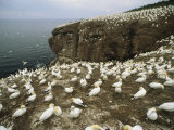 Northern Gannets (Sula Bassanus) Roost on Bonaventure Island Photographic Print by Michael Melford